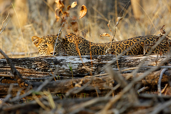WILD INDIA - EXPLORING THE JUNGLES OF KANHA & PENCH